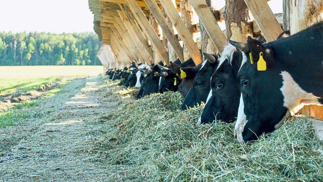 Vacas leiteiras são alimentadas com alfafa