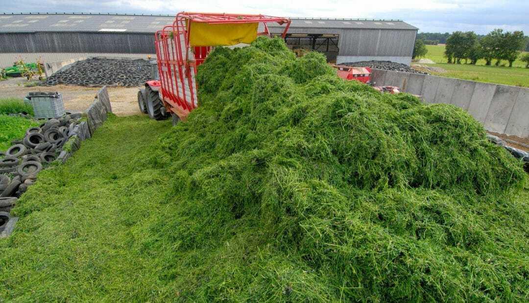 Máquina agrícola descarrega alfafa recém colhida