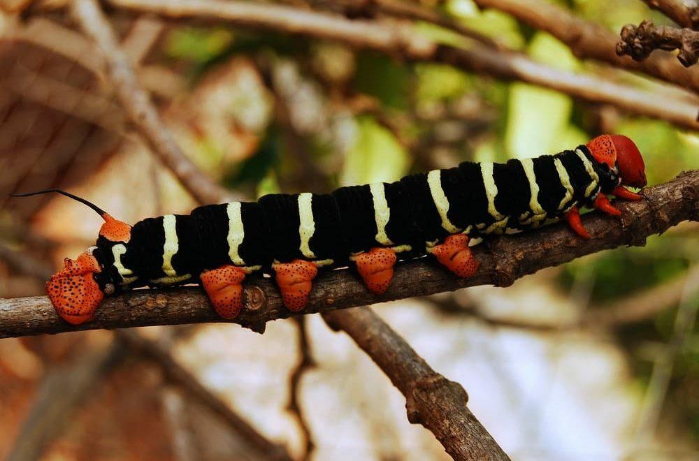 Como combater a lagarta mandarová da mandioca