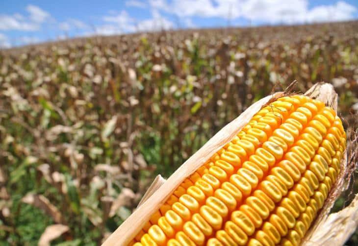 Doenças na cultura da safrinha de milho