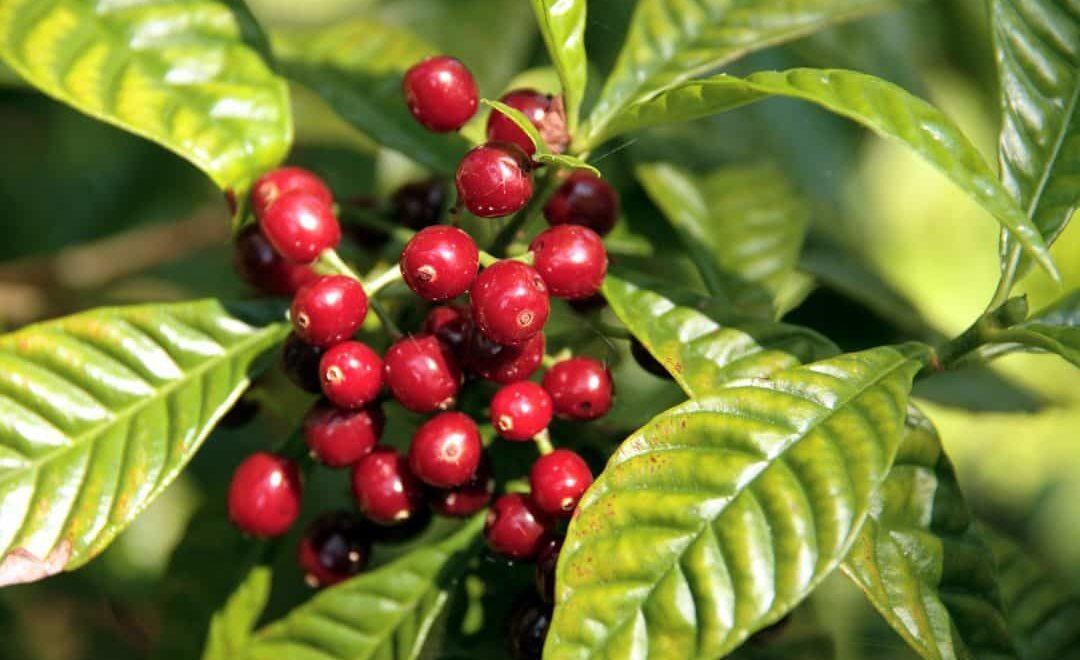 Saiba como cultivar café e entre para o agronegócio