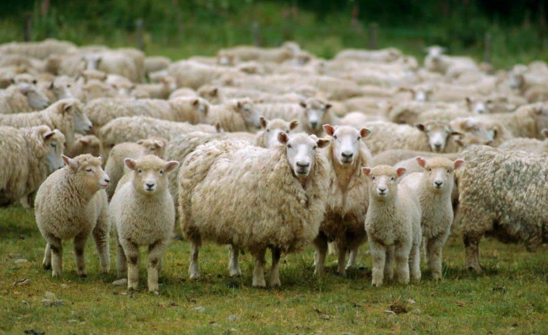 Por que criar ovelhas?