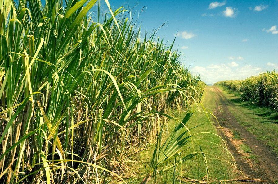 plantação de cana-de-açúcar com estrada no meio