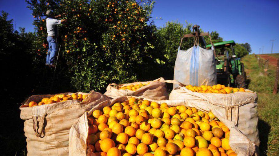colheita de laranja