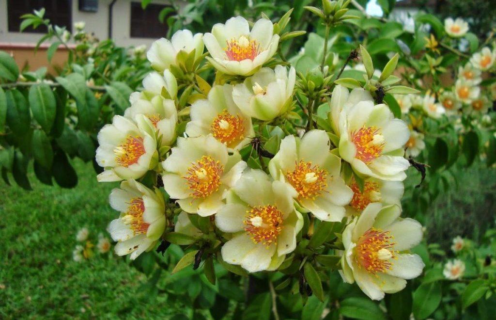Ora-pro-nóbis, a planta que salva