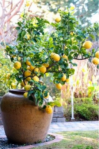 Limão em vaso grande num jardim
