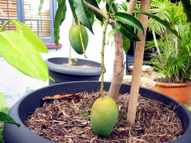 Mangueira plantada em vaso