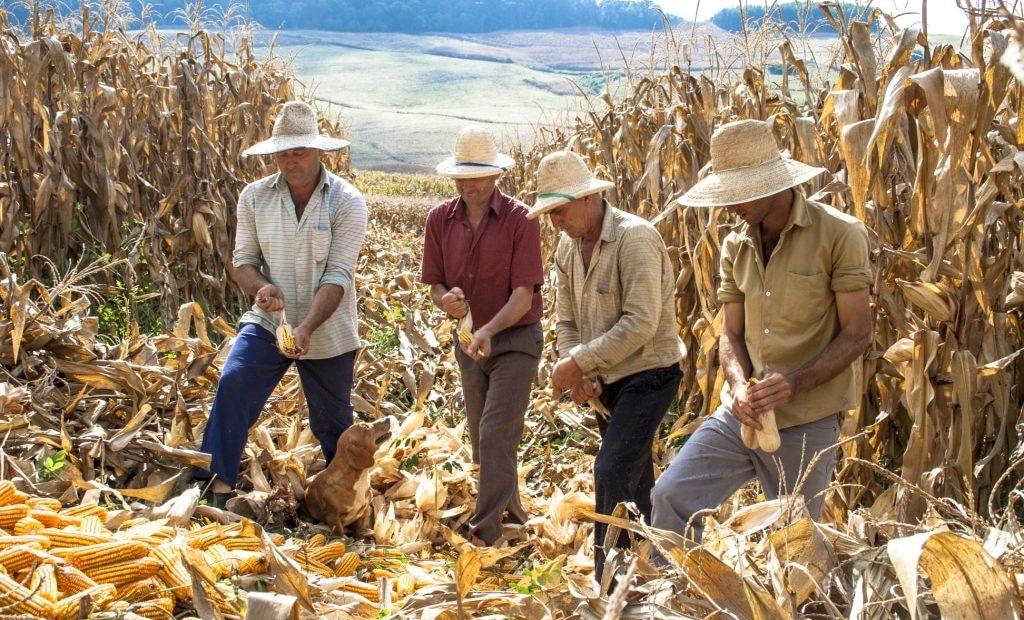 4 agricultores debulhando milho