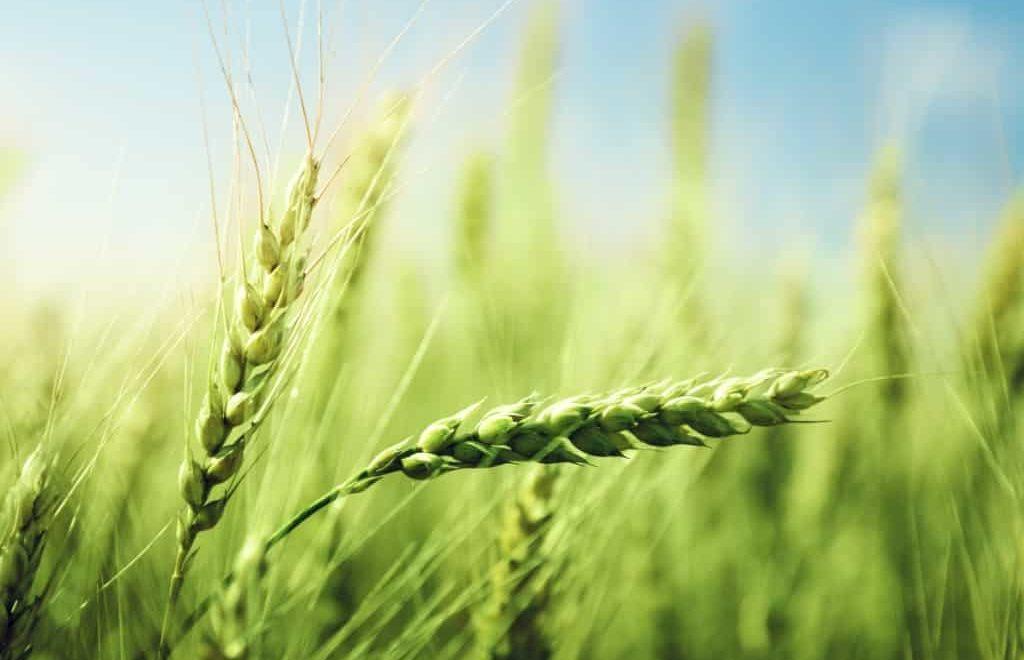O que os produtores podem esperar da safra de trigo 2019/20?
