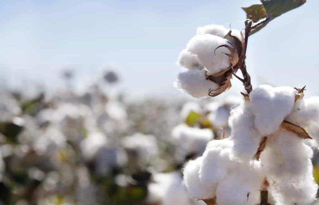 Saiba o que pode influenciar o mercado de algodão em 2020