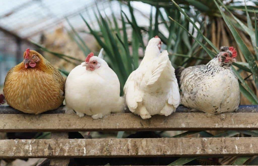 Entenda mais sobre os tipos existentes de aves de criação