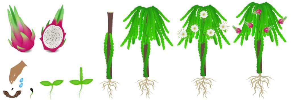 Figura representando fases de cultivo da pitaya