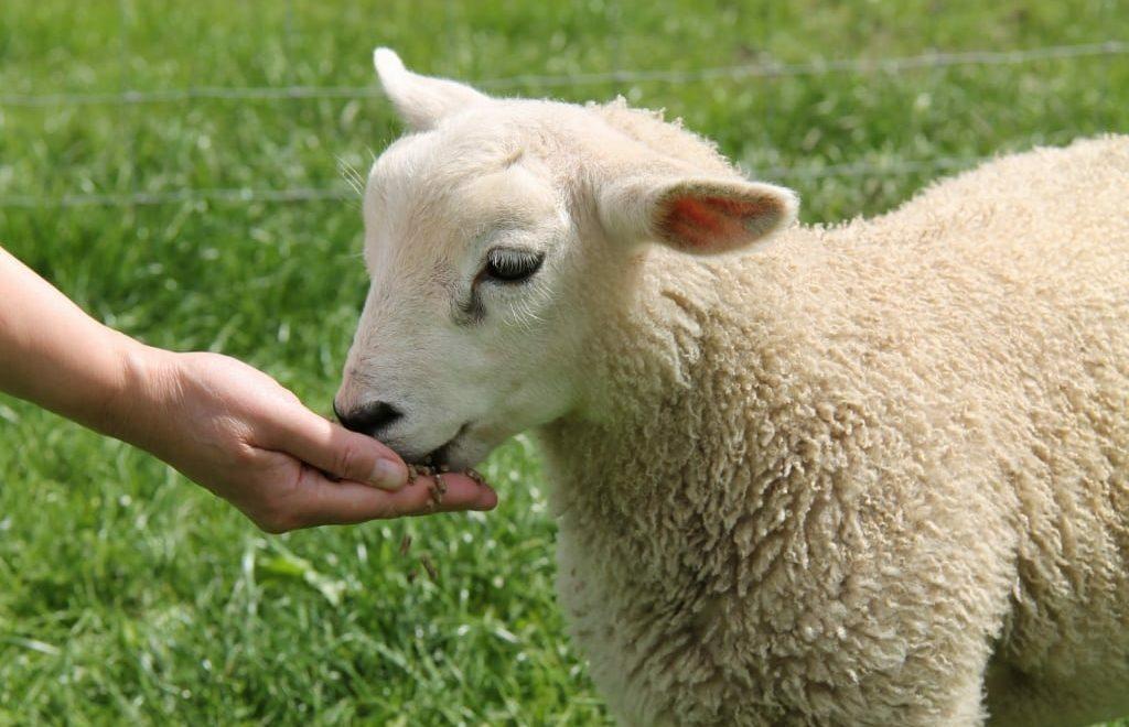 9 conselhos para alimentação de cordeiros