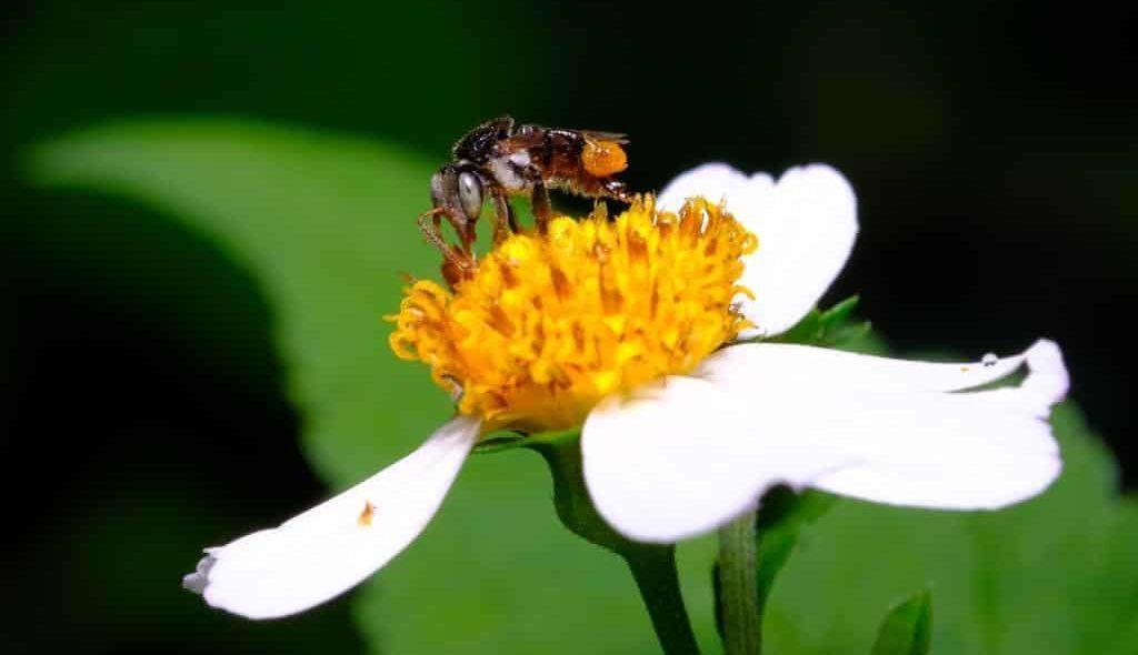 Abelha preta polinizando uma flor branca