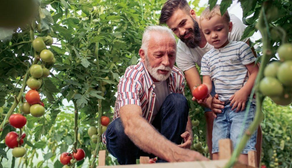 Família de agricultores colhendo tomate