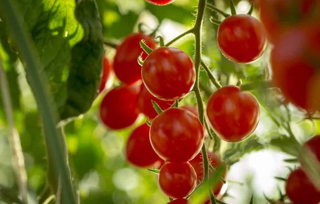 Tomate planta batendo sol
