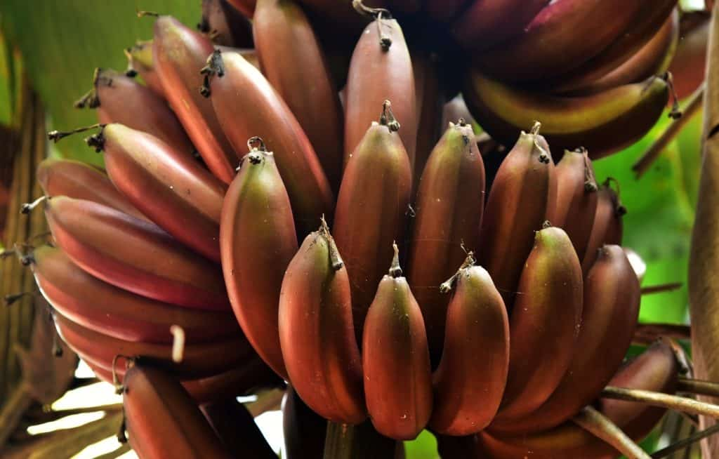 Cachos de banana roxa no pé