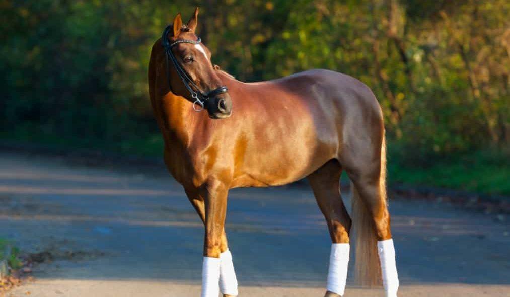 Cavalo Puro Sangue Inglês em estrada