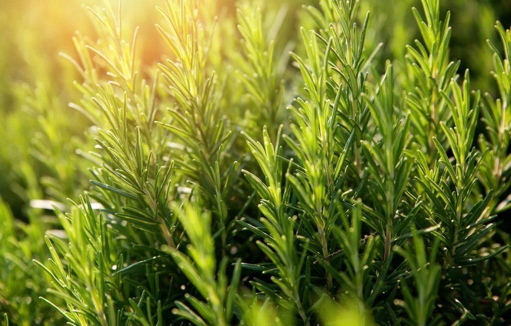 Plantação de alecrim com sol iluminando