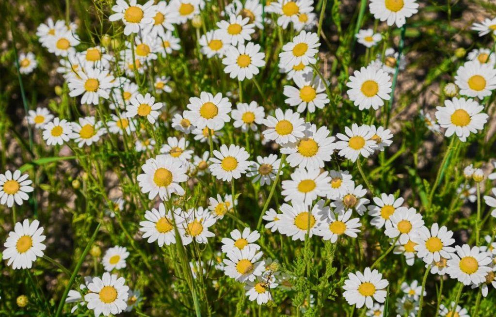 diversas flores de camomila