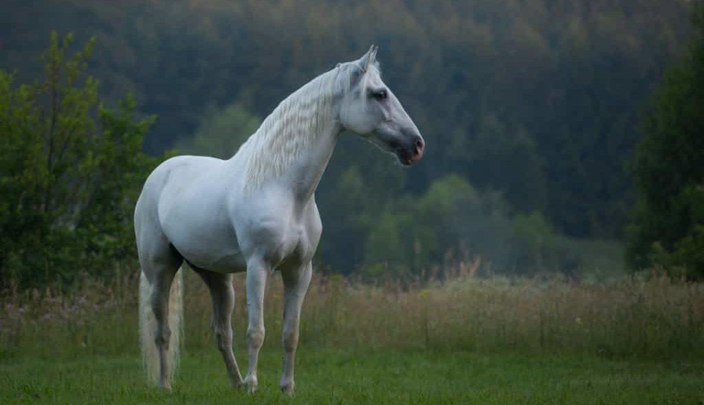 Égua Andaluz tordilha num campo