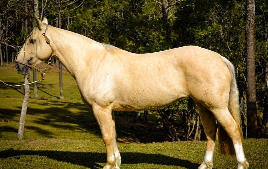 Égua crioula de pelagem clara