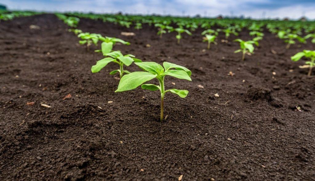Girassol jovem germinado em terra fértil