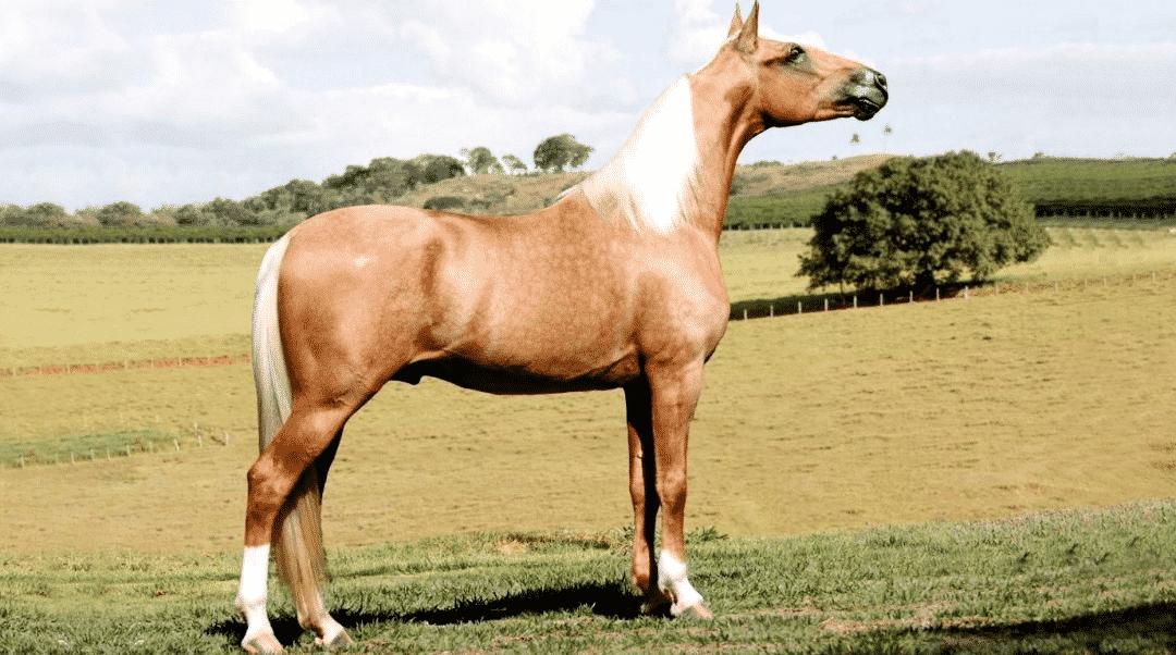Cavalo da raça Mangalarga no campo