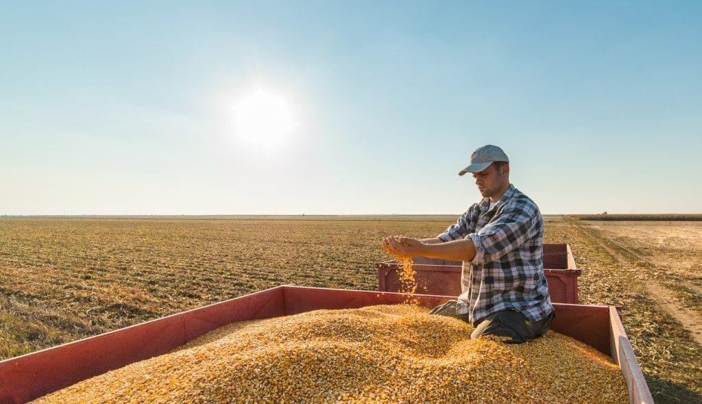 Homem mexendo no milho em cima de carreta após colheita
