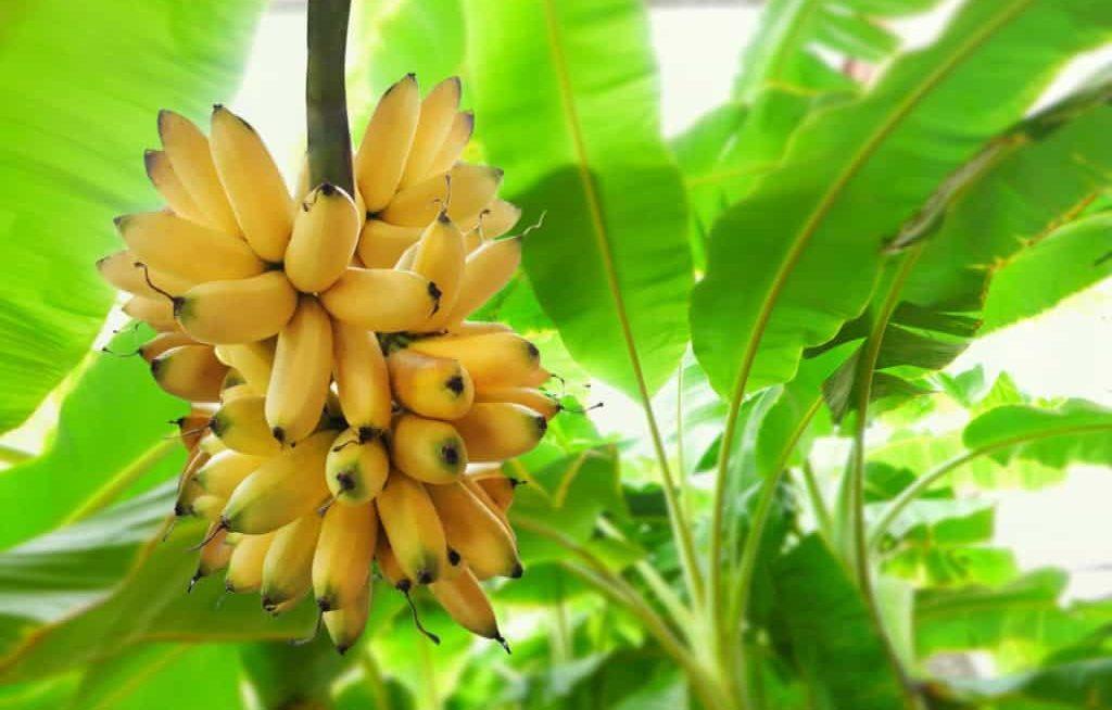 Como plantar banana – aprenda em 6 passos