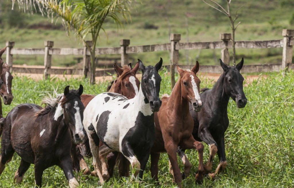 Vários cavalos Mangalarga andando ao lado