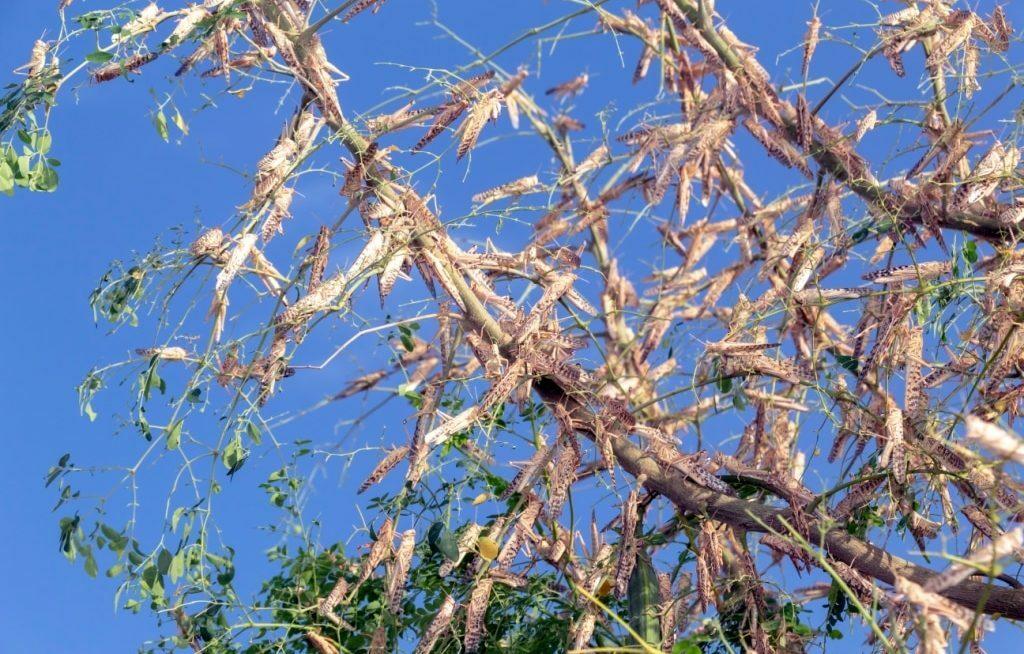 Gafanhotos em árvore inteira comida