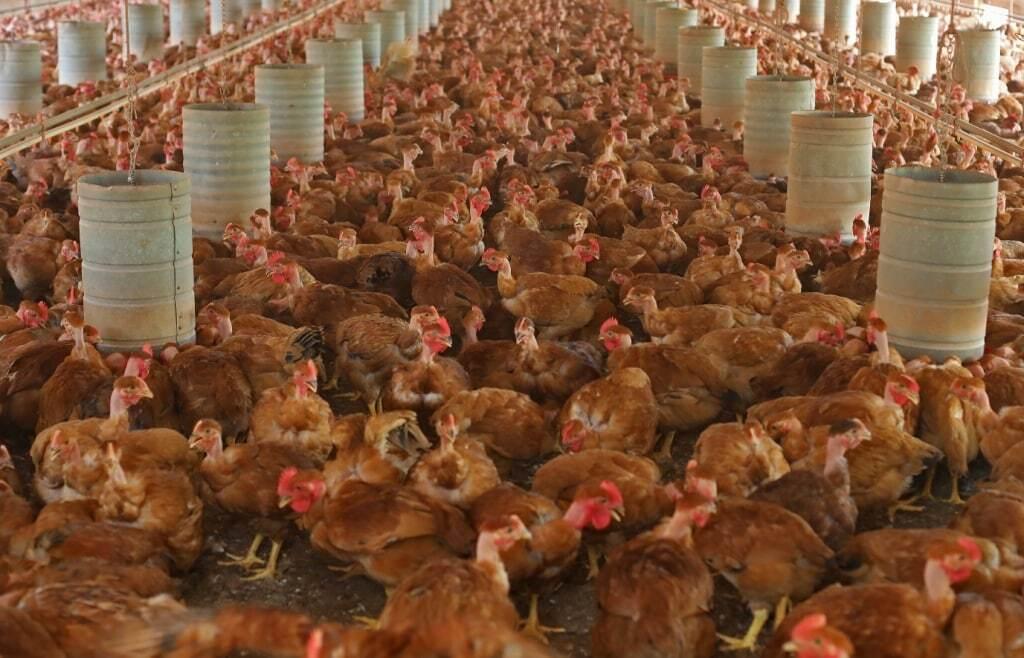 Granja especializada na criação de galinha caipira