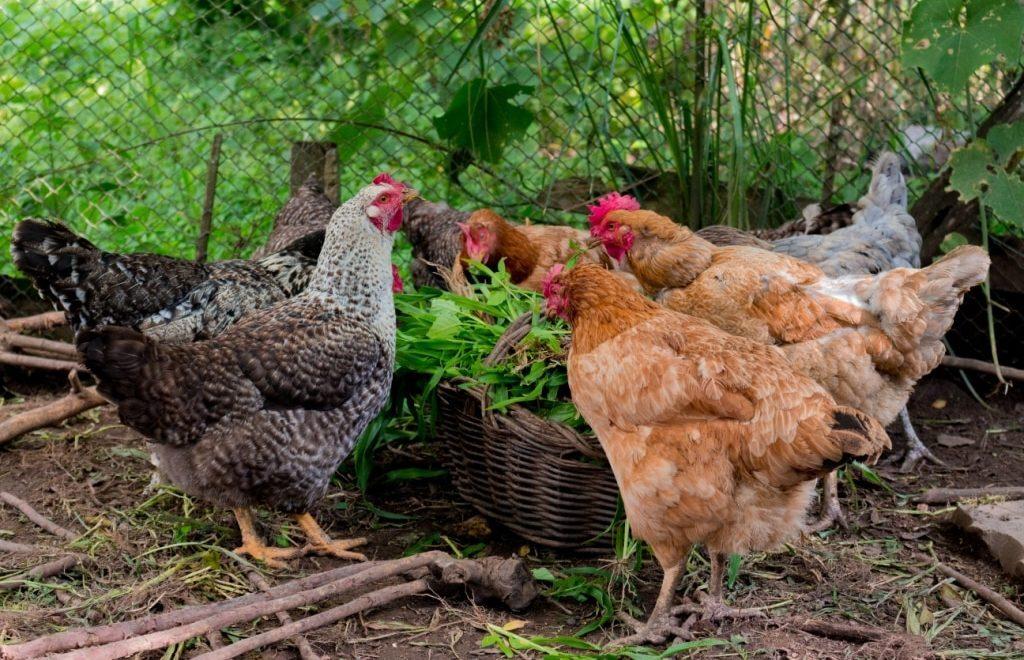 Criação de galinha caipira pode ser uma boa opção de renda