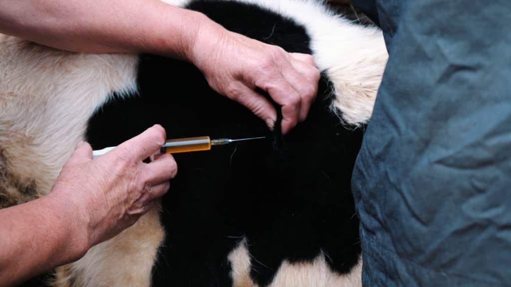 Homem aplicando injeção na vaca