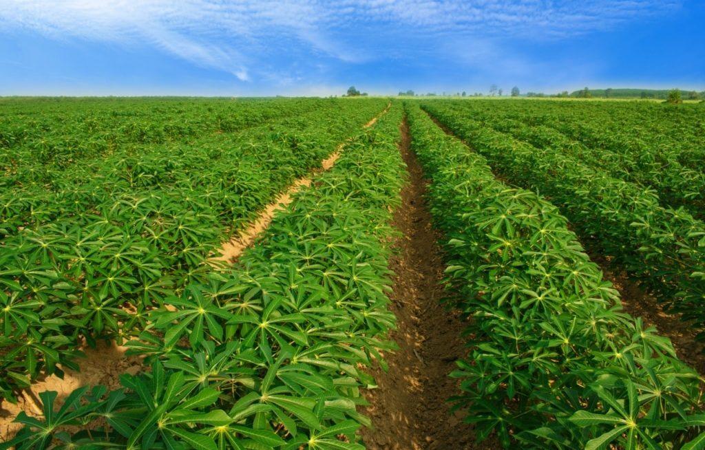Plantação de mandioca extensa