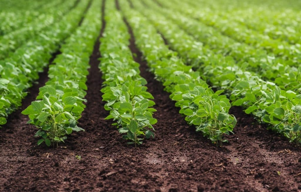 Plantação de soja livre de pragas
