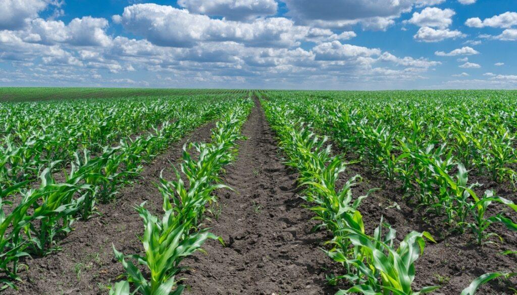 Plantação de milho no sistema convencional