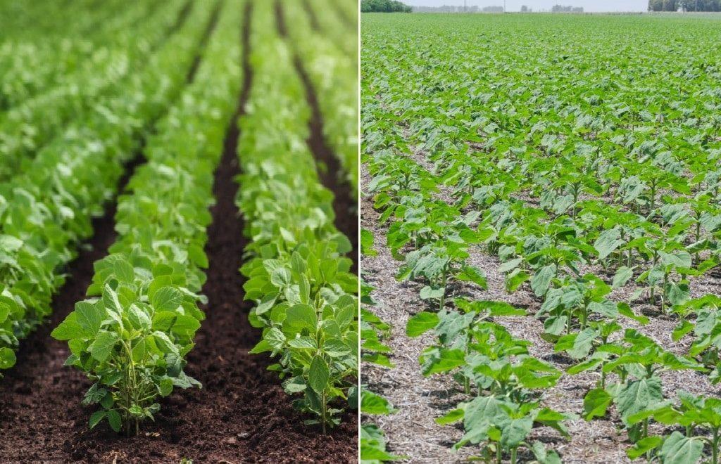 Qual a diferença entre plantio direto e plantio convencional?