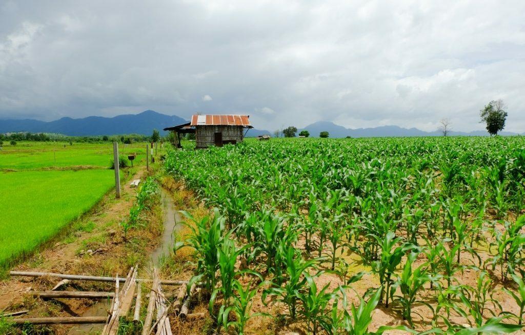 Casa humilde em meio a plantação de milho