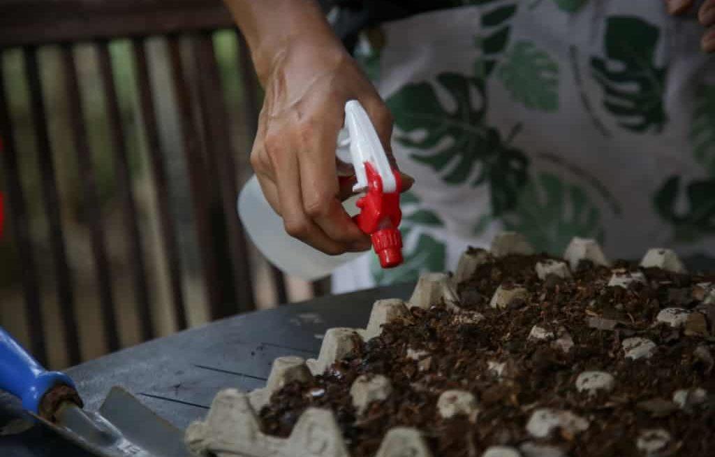 Mão borrifando água na sementeira