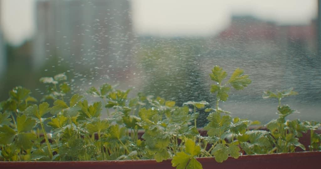 Borrifando água sobre salsinha plantada em vaso