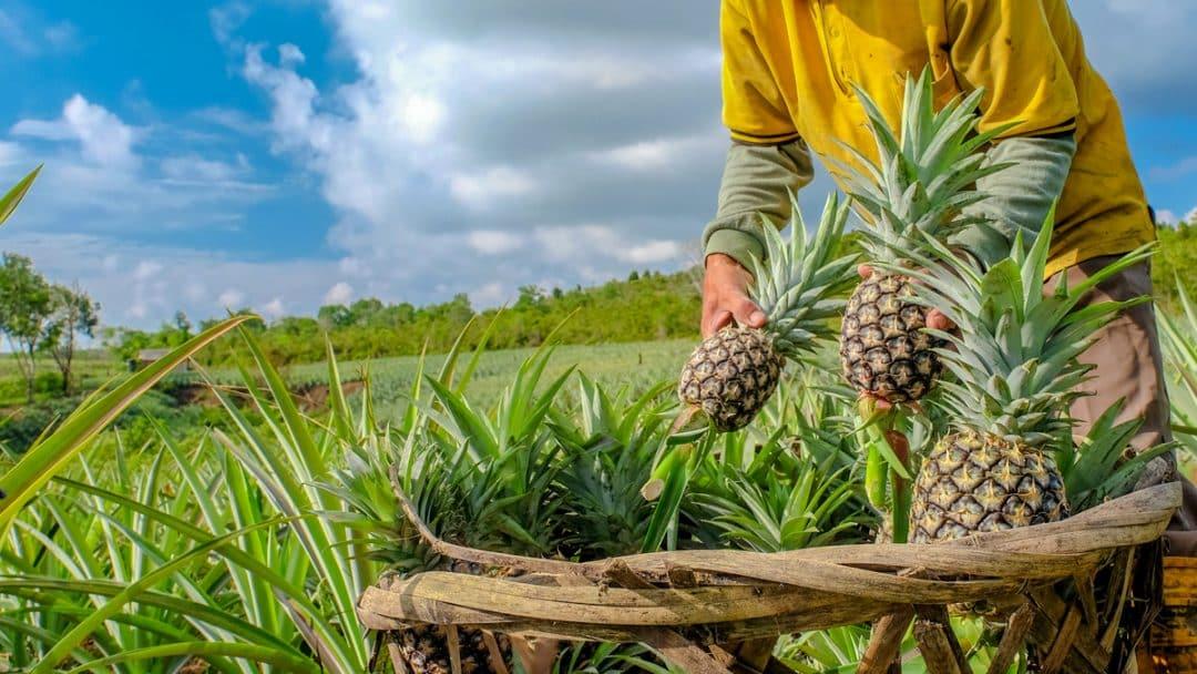 Homem colhendo abacaxi