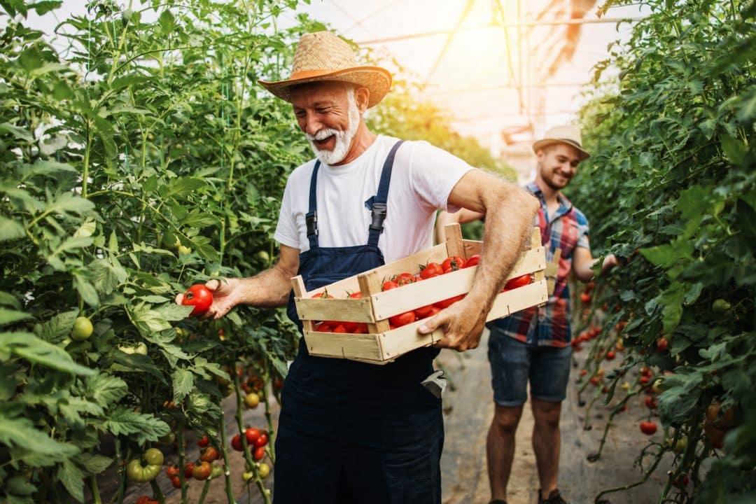 Homens colhendo tomates e colocando em caixa