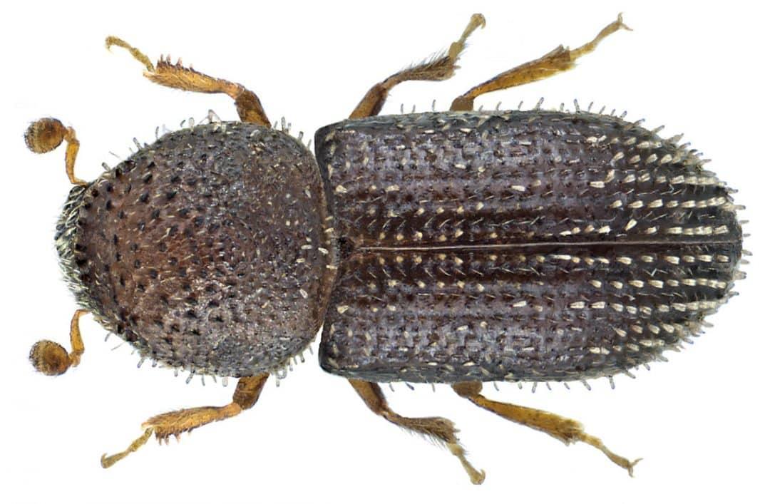 Imagem aproximada do besouro da broca-do-café