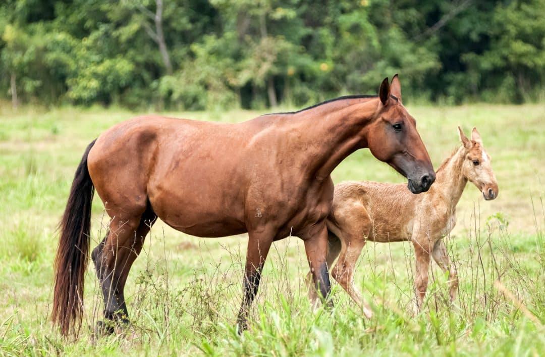 Cavalo Campolina com potrinho