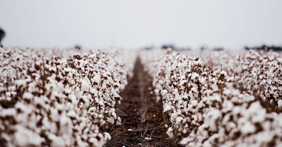 Algodão cultivado em clima frio