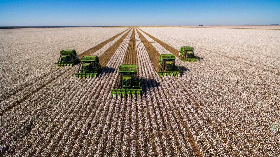 Máquinas colhendo o algodão no campo
