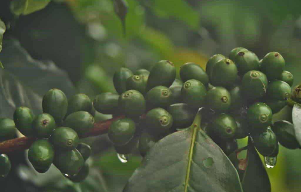 Roseta de café verde com broca