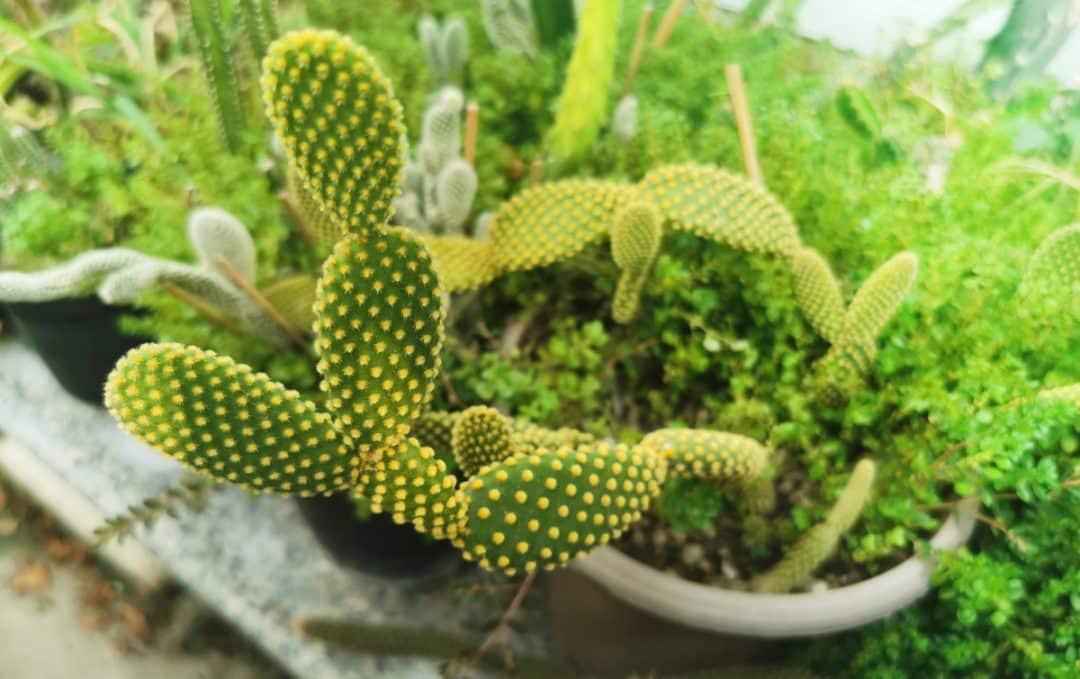 Cacto plantado em vaso